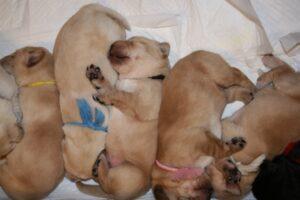 ゴールデンレトリーバーの雑種とは?ミックス犬の特徴について