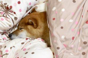 柴犬の睡眠時間は?子犬と成犬の平均的な寝る時間を解説!