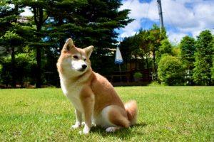 柴犬の体長の測り方〜成犬と子犬の平均はどのくらい?〜