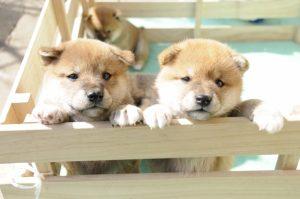 柴犬の子犬は垂れ耳だけど、成犬で垂れ耳は病気?