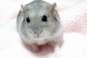 ジャンガリアンハムスターとドブネズミの見分け方、あなたは分かる!?