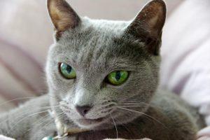 ロシアンブルーの凶暴化する理由とその対策方法を解説!
