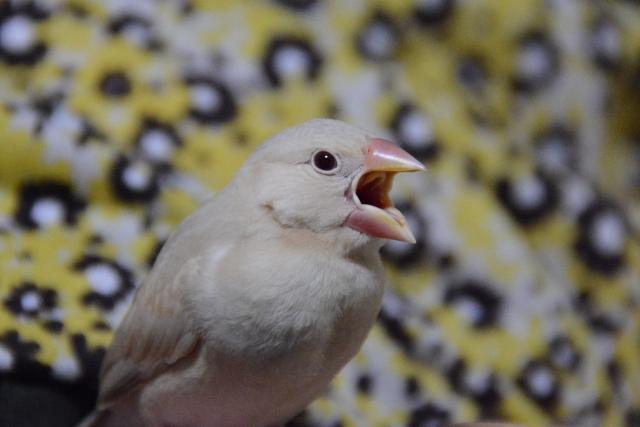 を 開ける 口 文鳥